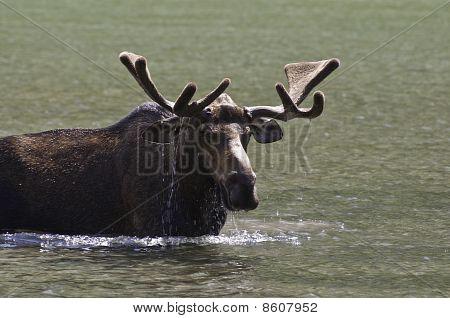 Feeding Bull Moose