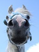 Curious Horse looking snout first down at camera close-up poster