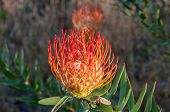 Flower of a red pincushion in the leucadendron family near Sir Lowrys Pass in the Western Cape Province of South Africa poster