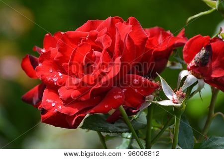 Red Roses With Morning Dew