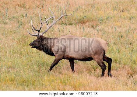 Majestic Bull Elk In Yellowstone Park