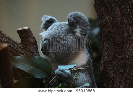 Koala (Phascolarctos cinereus). Wild life animal.