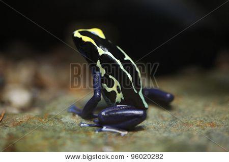 Dyeing dart frog (Dendrobates tinctorius), also known as the dyeing poison frog. Wildlife animal.