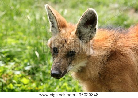 Maned wolf (Chrysocyon brachyurus). Wildlife animal.  poster