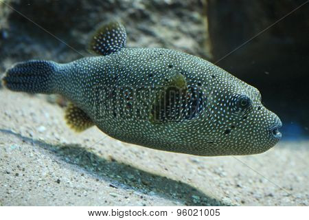 Stripped puffer (Arothron meleagris), also known as the golden puffer. Wildlife animal.
