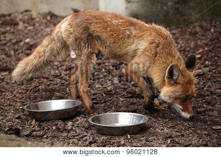 Red fox (Vulpes vulpes) inspecting empty bowls. Wild life animal.