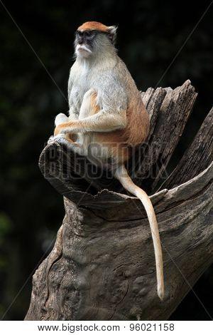 Patas monkey (Erythrocebus patas), also known as the hussar monkey. Wild life animal.