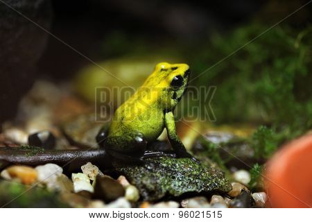 Golden poison frog (Phyllobates terribilis), also known as the golden dart frog. Wildlife animal.