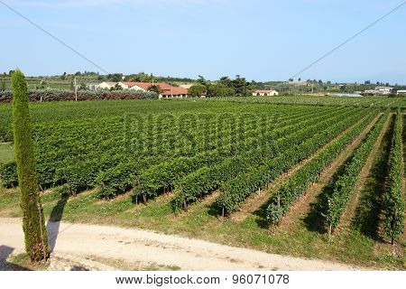 Landscape View Of A Neat Summer Vineyard