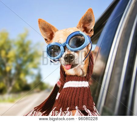 a chihuahua riding in a car with his head out the window with goggles on