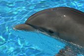 a dolphin swims in a pool at a las vegas nevada resort hotel. poster
