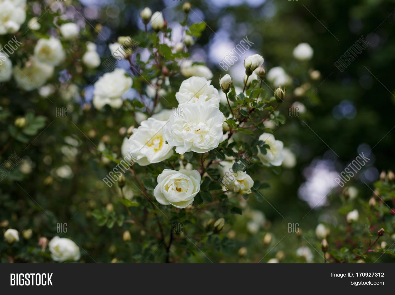 Beautiful Bush White Image Photo Free Trial Bigstock