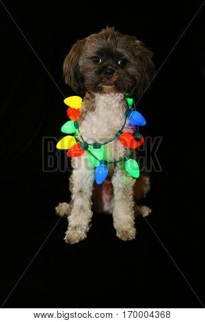 A cute and funny Grey and White dog sits on black velvet with colored Christmas lights.