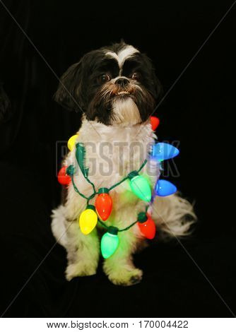 Funny cute black and white Shih Tzu dog sits on black velvet with colored Christmas lights. Isolated on black. low key image.