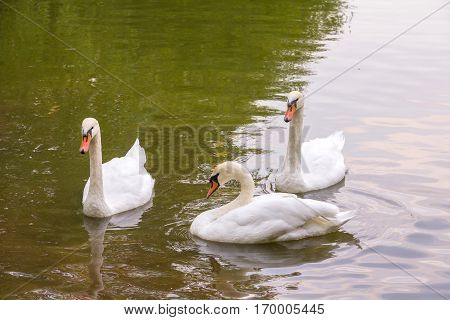 Two young white swan swim to fellow swan on the water surface of the pond in a city garden