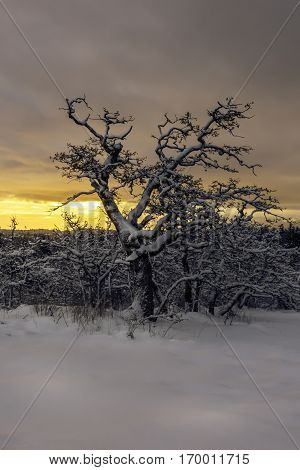 Oak trees on a hill in the snow at sunrise with an orange sky Victoria British Columbia Canada