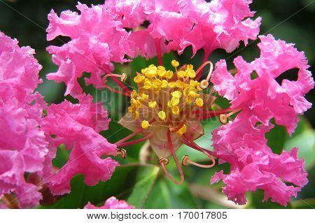 Pink Crepe Myrtle Crape flower blossoms close-up petals and stamen