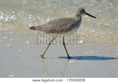 Shorebird walking along the water's edge in Naples Florida.