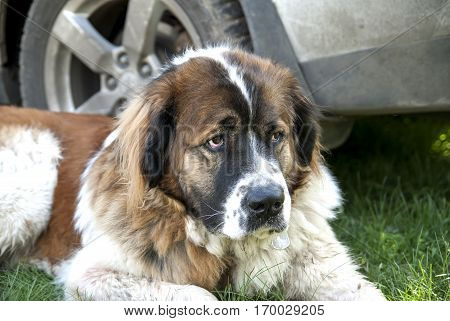 Moscow Watchdog on green grass close up