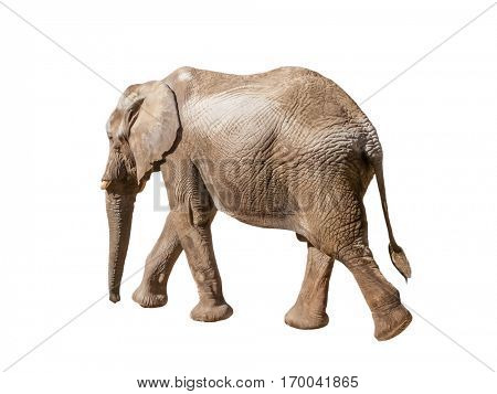 African elephant walking, moving or going away with a view of the back and tail isolated on white background.