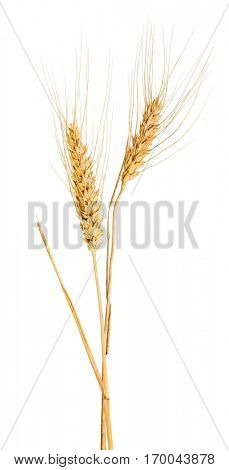 two ears of wheat isolated on white background