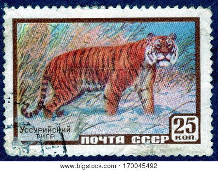 USSR - CIRCA 1959: Postage stamp printed by USSR shows the Amur tiger (lat. Panthera tigris altaica), also known as the Ussurian tiger. circa 1959