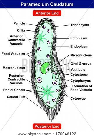 Vector Paramecium Caudatum Diagram single celled protists animal with part anterior posterior ends pellicle cillia contractile food formation vacuole nucleus ectoplasm endoplasm for science education
