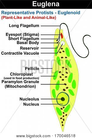 Vector Euglena Cross Section Diagram representative protists euglenoid plant like and animal like microscopic creature with all cell parts nucleus flagellum eyespot basal body pellicle mitochondrion