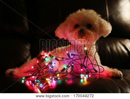 Dog with Christmas Lights. Bichon Frise Dog with colorful mini Christmas lights. Focus on the lights with the dog slightly out of focus in the dark. Christmas Dog Image