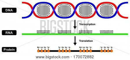 Messenger mRNA RNA in cell nucleus and synthesize Protein Formation by DNA backbone strands two stages transcription and translation the central dogma different step function details sequences