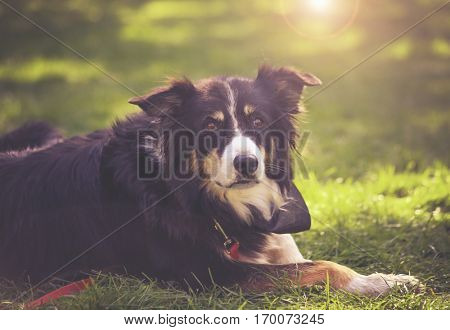 authentic photo of a cute herding dog on the grass at a local park during summer with a lens flare toned with a retro vintage instagram filter