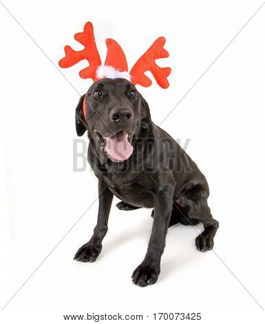 dog dressed up in reindeer antlers for christmas on a white background studio shot, great for holiday greeting cards or calendars