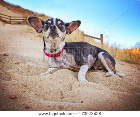 a cute rat terrier a on a hot summer day at the top of a hill in sand with a fence and the sky in the background