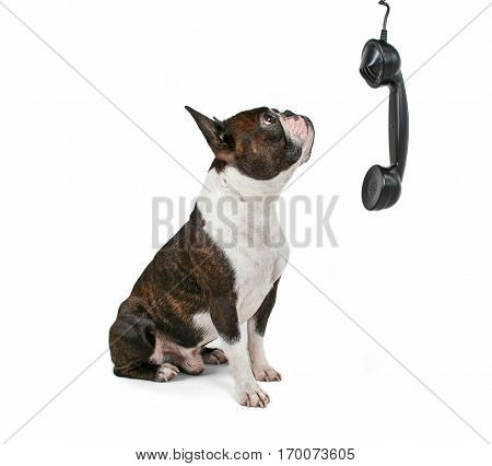 a boston terrier talking on the phone isolated on a white background studio shot