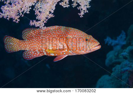 Cephalopholis miniata, coral grouper in nature.