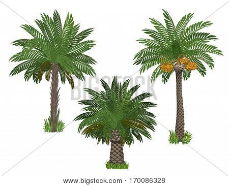 Date palm trees set palm trees in cartoon style. Raster illustration