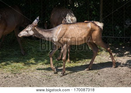 Altai wapiti (Cervus canadensis sibiricus), also known as the Altai maral.