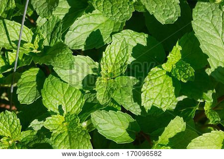 the Green Mint leaves in home garden