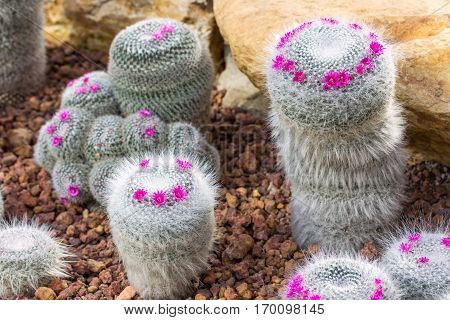 pincushion cactus plant with pink flower decoration on rock in the garden