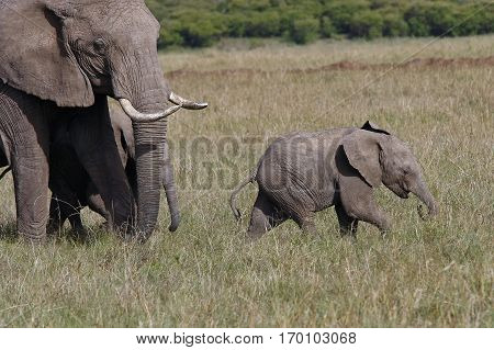 baby elephant with his mother elephant walking on the African savannah Kenya