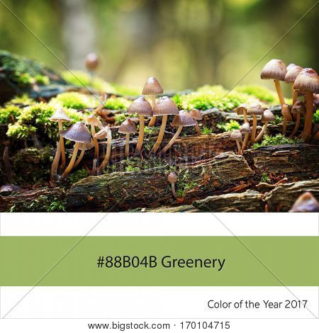 Mycena haematopus fungi growing from a dead tree stump, as an example of the trend colour of the year 2017, Greenery, with corresponding colour hex.