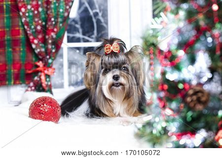 Biewer york terrier and Christmas decorations