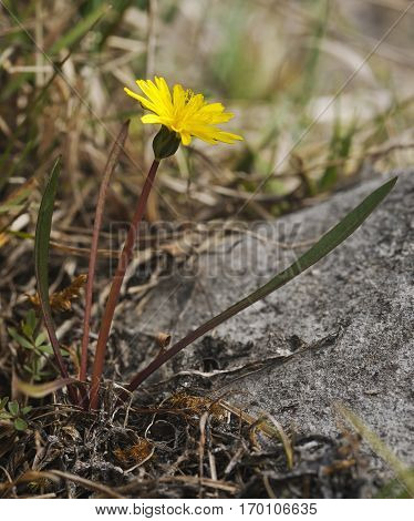 Marsh Dandelion - Taraxacum palustre Rare Dandelion Species