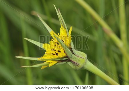 Goatsbeard - Tragopogon pratensis Part opned flower showing long bracts