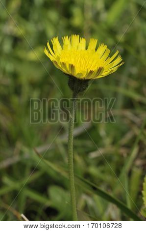 Mouse-ear Hawkweed - Pilosella officinarum Yellow Composite Flower