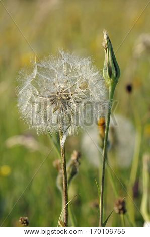 Goatsbeard seedhead - Tragopogon pratensis Also known as Jack-go-to-bed-at-noon
