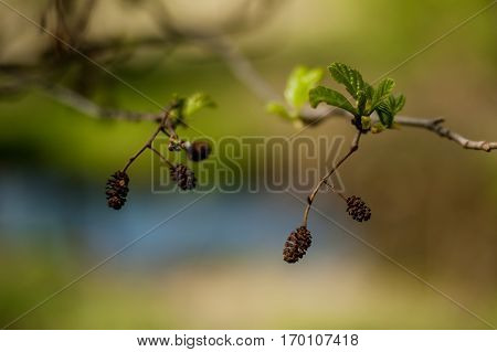 close-up of small black alder tree fruit on greenery background