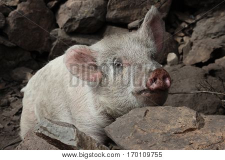 Large white hairy pig with pink nose and ears looking over stone wall