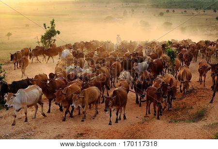 Livestock At Vietnam, Cowboy Herd Cows On Meadow