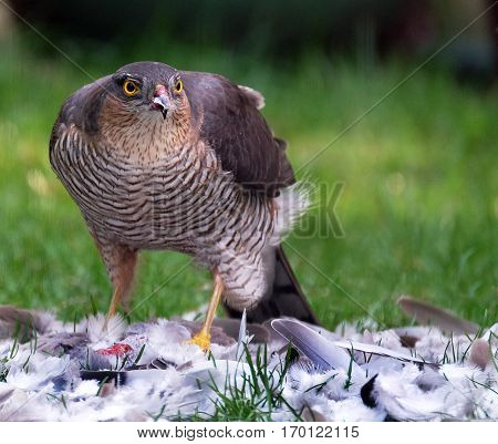 Female Sparrowhawk with Collared dove prey on urban house lawn.